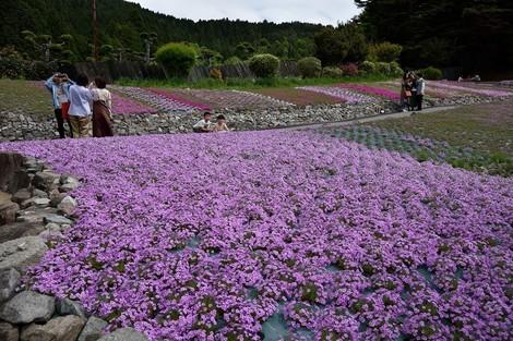 「花のじゅうたん」へ芝桜を見に行きました [兵庫県三田市]