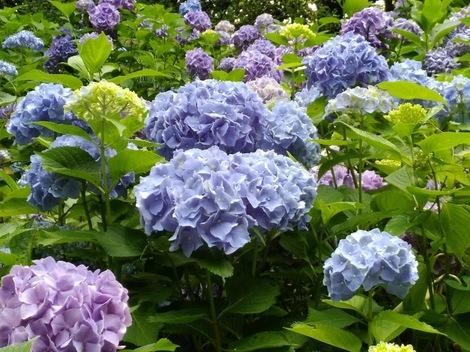 「神戸市立森林植物園」へアジサイ撮影
