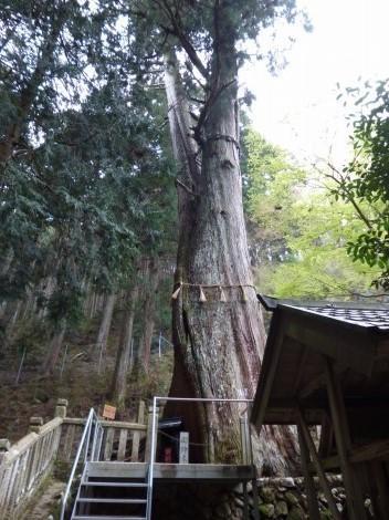 青玉神社 [兵庫県多可郡多可町] 夫婦めおと大杉