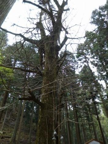青玉神社 [兵庫県多可郡多可町] 乳の木