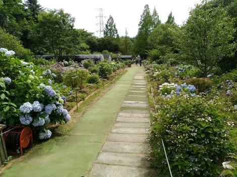 「神戸市立森林植物園」へアジサイ撮影に行きました