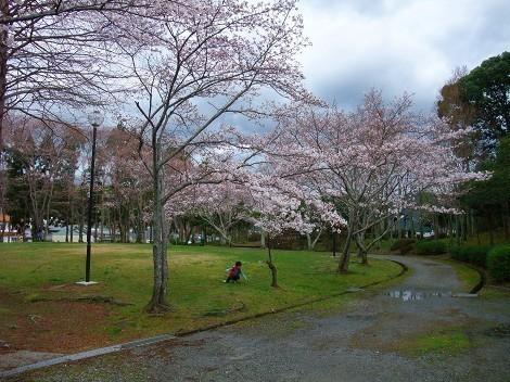 童子山公園の桜