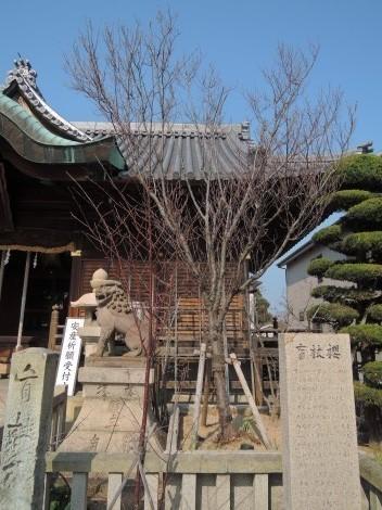 柿本神社 盲杖桜(もうじょうざくら)