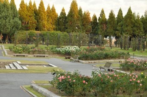 播磨中央公園 秋のばらまつり