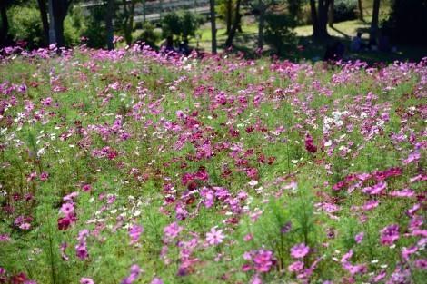 神戸総合運動公園コスモス