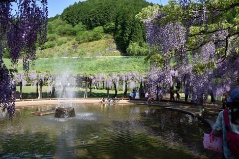 白井大町公園の藤