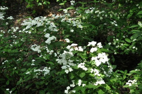 「神戸市立森林植物園」アジサイ