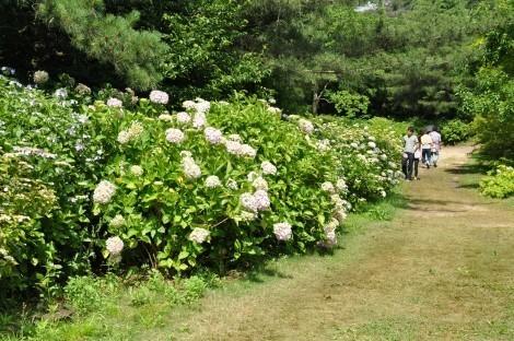 神戸市立森林植物園のヒメアジサイ