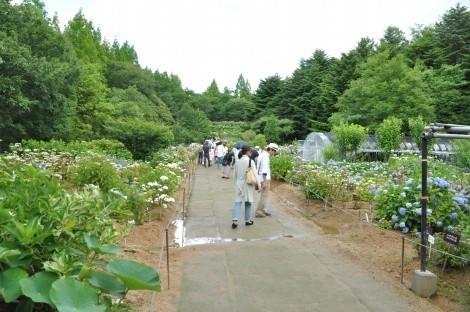 神戸市立森林植物園のアジサイ