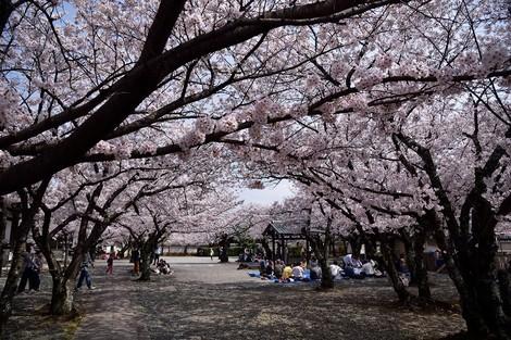 教信寺の桜  [兵庫県加古川市]