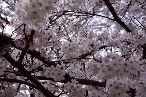 2018年 明石公園の桜
