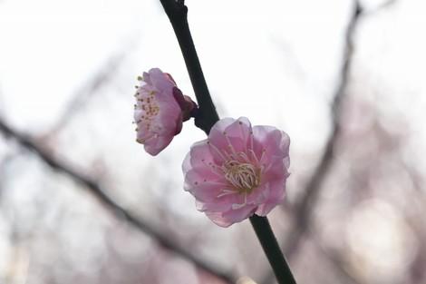 雌岡山(めっこうさん)の梅林 [兵庫県神戸市西区神出町]